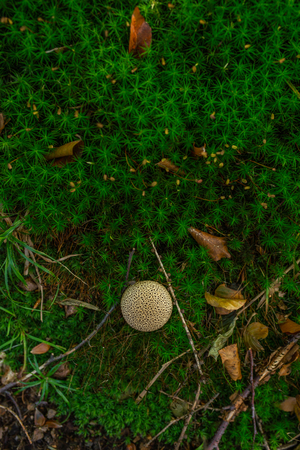 Photo of Small mushroom in the forest on green moss. Top view. Zdjęcie Seryjne - 114068553