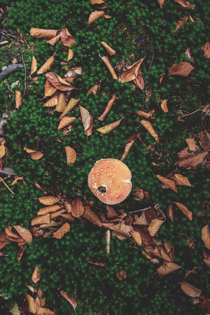 Photo of Small mushroom in the forest on green moss. Top view. Zdjęcie Seryjne - 114068580