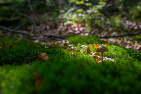 Photo of Small mushroom in the forest on green moss. Zdjęcie Seryjne - 114068583