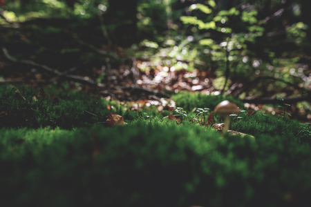 Photo of Small mushroom in the forest on green moss. Zdjęcie Seryjne - 114068586