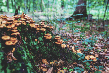 Photo of Autumn forest. Group of orange and yellow mushrooms on the old log Zdjęcie Seryjne - 114068591