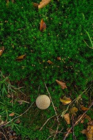 Photo of Small mushroom in the forest on green moss. Top view. Zdjęcie Seryjne - 115268182