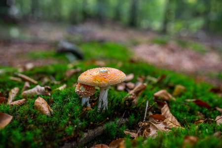 Photo of Small mushroom in the forest on green moss. Zdjęcie Seryjne - 115268183