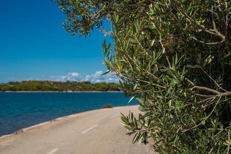 Photo of Green Olives on the tree against blue sky and asphalt road, Murter, Dalmatia, Croatia, perfect for the background Zdjęcie Seryjne