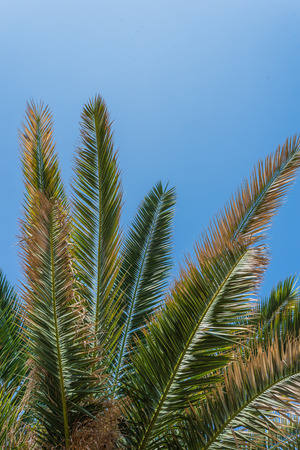 Photo of green Palm trees against blue sky, Murter, Croatia, Dalmatia perfect for a background Zdjęcie Seryjne