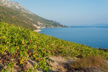 Photo of Organic mali Plavac grapes in local vineyard, Dingac Borak village, Peljesac Peninsula, Dalmatia, Croatia Zdjęcie Seryjne