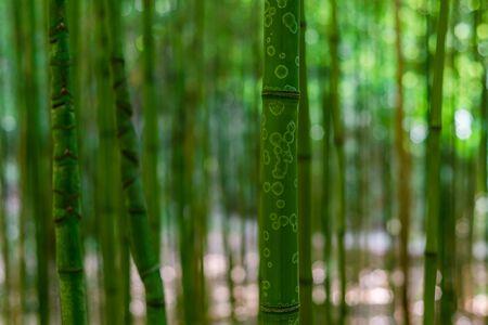 Photo of bamboo forest in arboretum Trsteno, Dalmatia, Croatia