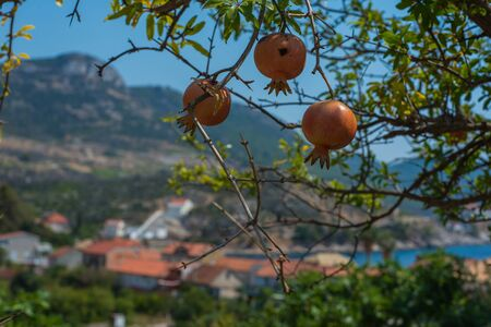 Photo of wild, organic pomegranate with small village Trstenik, Croatia as background
