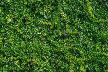 Photo of Green leaves wall background. Green ivy texture.