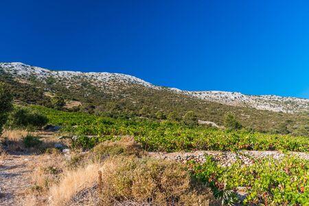Photo of Organic 'mali Plavac' grapes in local vineyard, Dingac Borak village, Peljesac Peninsula, Dalmatia, Croatia