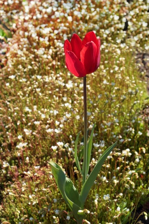 moos: Spring red tulip on blooming moos background Stock Photo