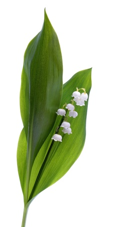 mayflower: Lilly of the valley isolated on white background