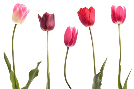 Different color tulips isolated on white background photo