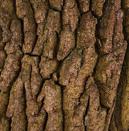 centenary: The bark of a centenary oak background