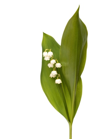 Lily of the valley isolated on white background photo
