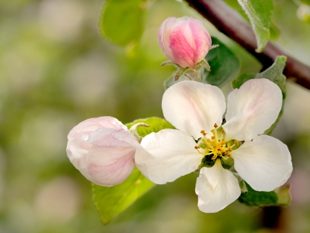 Apple flowers over natural green background Stock Photo - 13758803