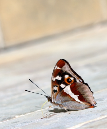 Charaxes tiridates  butterfly on the grey stone photo
