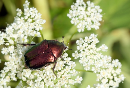 Rose chafer ( Cetonia aurata) on white flowers  photo
