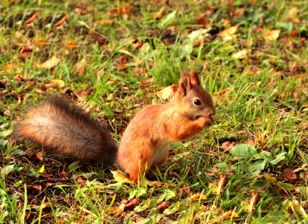 Squirrel eating  in an autumn grass Stock Photo - 15627472