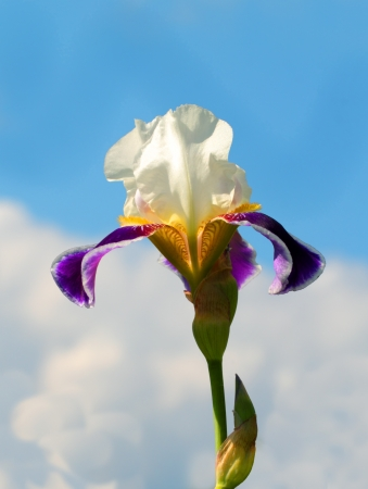 White and purple iris over the sky photo