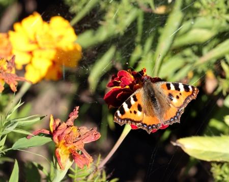 pokrzywka: Motyl pokrzywka siedzi na czerwony kwiat