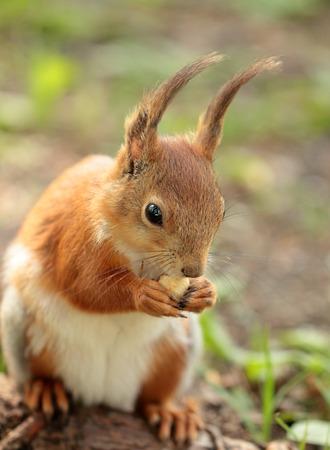 animales del bosque: Una ardilla que come la tuerca en el parque Foto de archivo