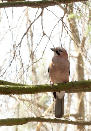 glandarius: Eurasian jay ( Garrulus glandarius ) sitting on the tree Stock Photo