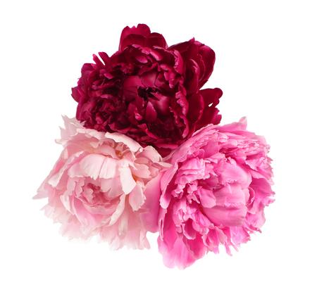 flor violeta: Tres peon�as de color diferentes aislados sobre fondo blanco Foto de archivo