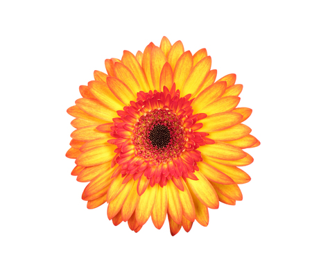 yellow gerbera isolated on: Beautiful red and yellow gerbera isolated on white background Stock Photo