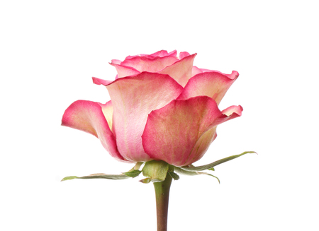 Pink rose flower isolated on white background Stock Photo