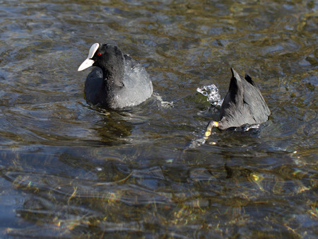 Two coots. One is diving for food