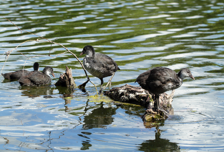 Coot ( fulica atra) ducklings over the water background Stock Photo
