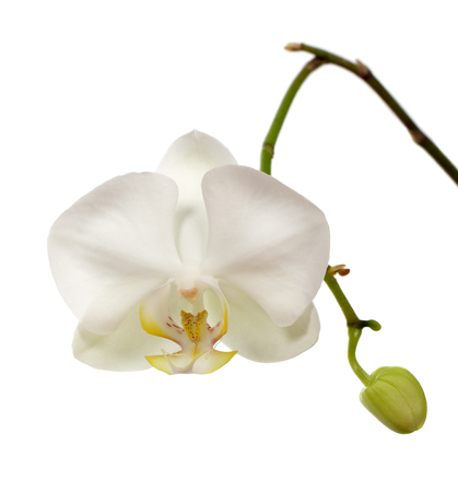 button: Beautiful white orchid flower with button isolated on white background