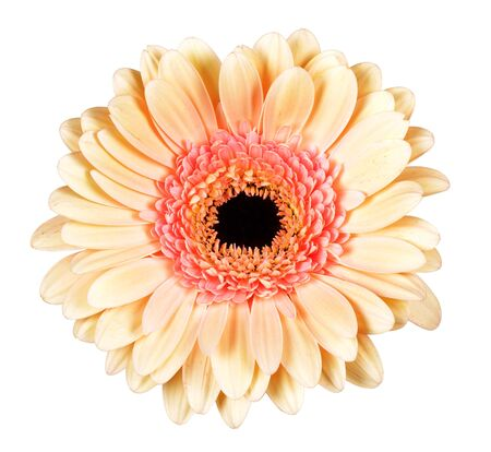 Beautiful tender orange gerbera isolated on white background 写真素材