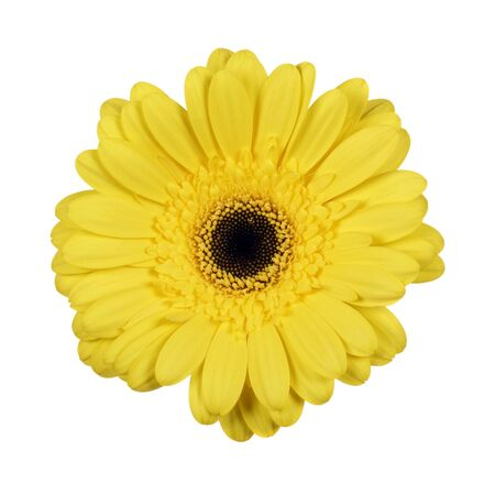 Beautiful yellow gerbera flower isolated on white background 写真素材