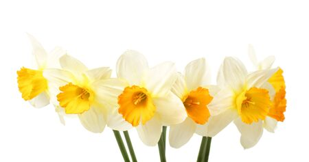 Bouquet of  white and yellow narcissus flowers  isolated on white background