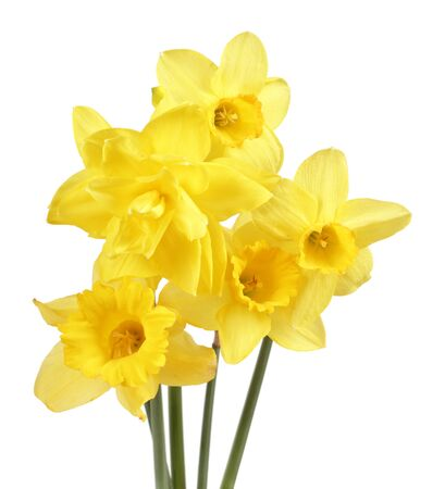 Bouquet of yellow narcissus flowers  isolated on white background Imagens