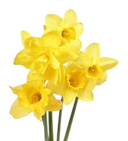 Strauß gelber Narzissenblüten isoliert auf weißem Hintergrund