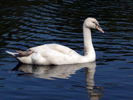 Young white swan swim in water scene Banco de Imagens