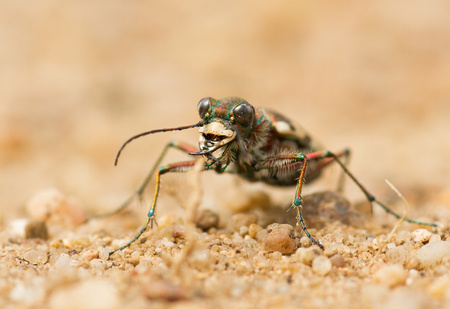 Northern Dune Tiger Beetle Cicindela hybrida, Czech