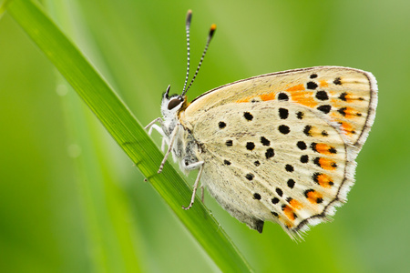 Sooty Copper , Lycaena tityrus, wildlife, butterfly, czech