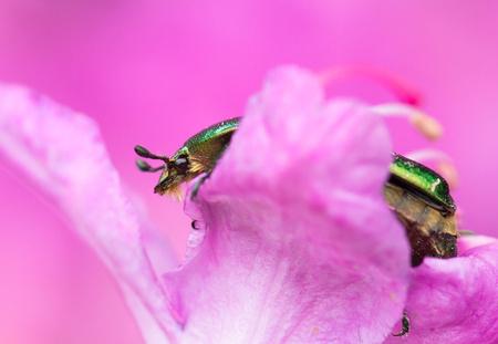 Rose chafer beetle Cetonia aurata in Czech Republic 免版税图像