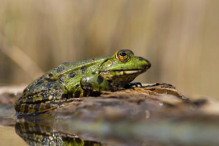 The marsh frog Pelophylax ridibundus in Czech Republic Stock Photo