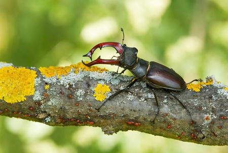 The stag beetle Lucanus cervus in Czech Republic