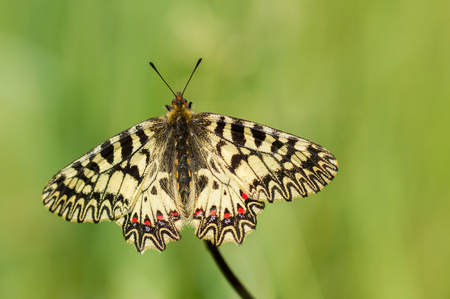 The Southern Festoon Zerynthia polyxena in Czech Republic