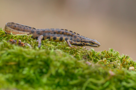 The smooth newt, also known as the common newt Lissotriton vulgaris formerly Triturus vulgaris in Czech Repiblic