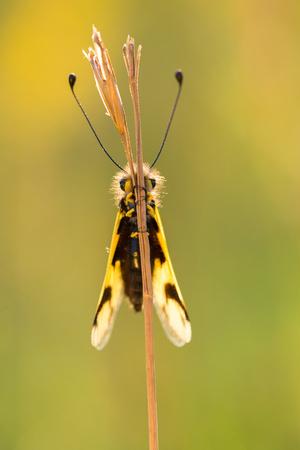 Beautiful Owlfly Libelloides macaronius in Czech Republic