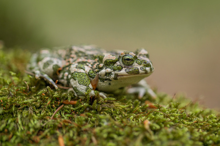 Green toad Bufotes viridis, also Pseudepidalea or Bufo in Czech Republic Stock Photo