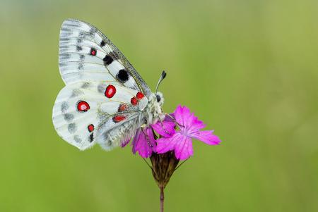 Apollo Buterfly Parnassius apollo in Czech Republic Reklamní fotografie
