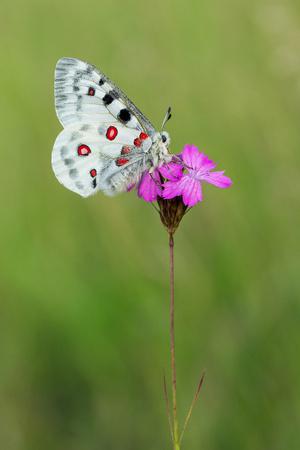 Apollo Buterfly Parnassius apollo in Czech Republic